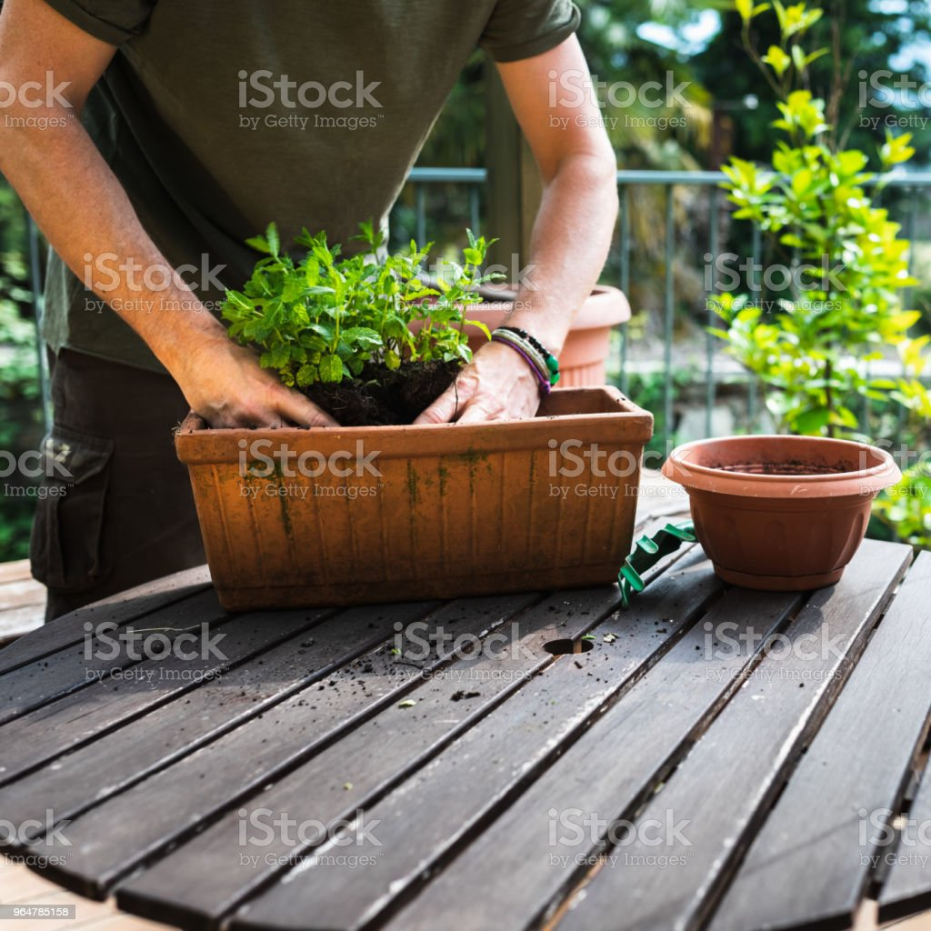 Time for repotting royalty-free stock photo