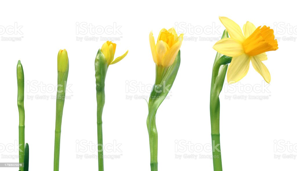 Time lapse photograph series of a blooming daffodil stock photo