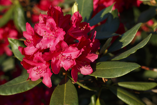 Big azalea or rhododendron in garden. Season of flowering azaleas (rhododendron) at botanical garden in Riga, Latvia.