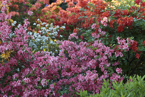 Big azalea or rhododendron in garden. Season of flowering azaleas (rhododendron) at botanical garden in Riga, Latvia.\