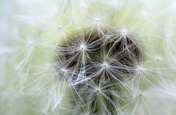time dandelion clock abjure stock pictures, royalty-free photos & images