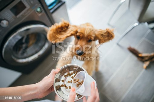 A personal perspective shot of an unrecognisable woman feeding her cocker spaniel, her dog is jumping with excitement.