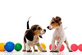 beagle and jack russel are playing with color ball