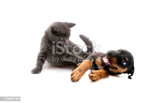 little dog and cat isolated on white