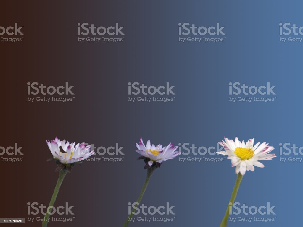 Timelapse in one picture of common daisy opening stock photo