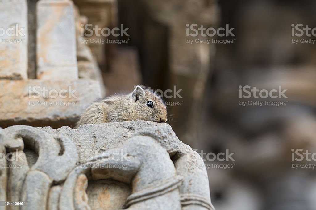 Timid Squirrel royalty-free stock photo
