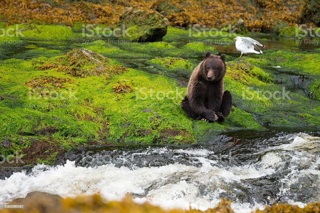 timid yearling cub hugs close to shore in rainforest stock photo