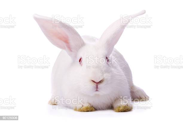 Timid young white rabbit with dirty yellow paws on white picture id92125306?b=1&k=6&m=92125306&s=612x612&h=c0ygukbwg5nxiwqmp9xpzyjtcqjfa7ungfufkjdwitw=