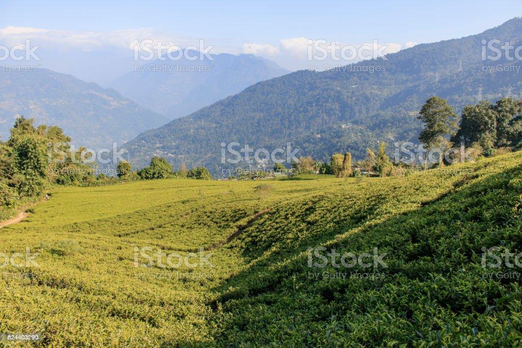 Timity Tea Garden stock photo