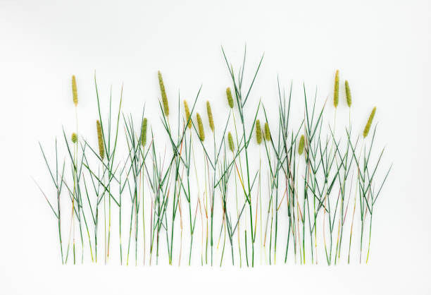 Timothy grass on white background stock photo