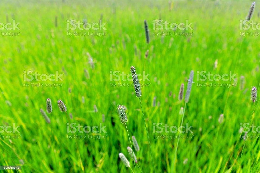 Timothy grass stock photo