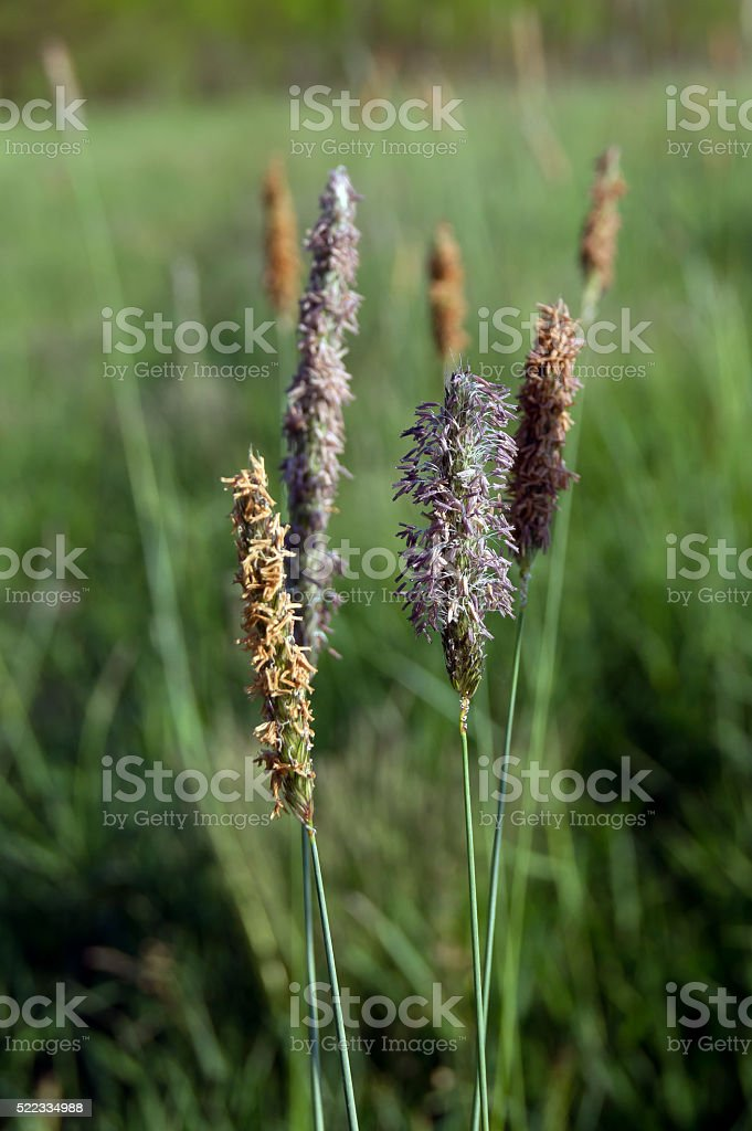 Timothy grass (Phleum pratensis) stock photo