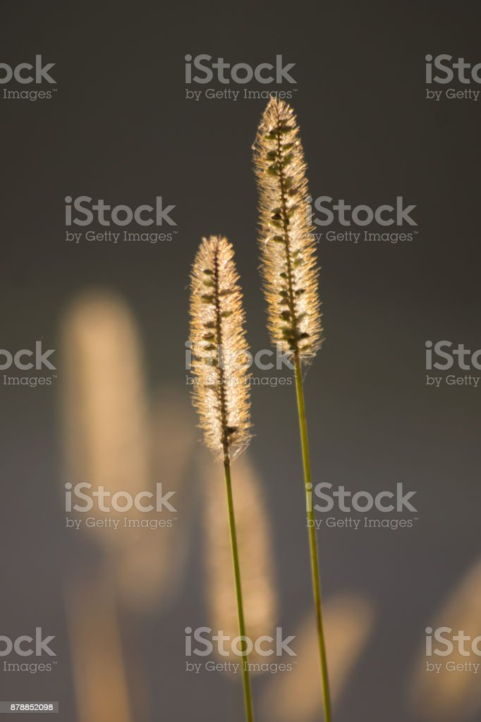 Timothy grass (Phleum pratensis) stock photo