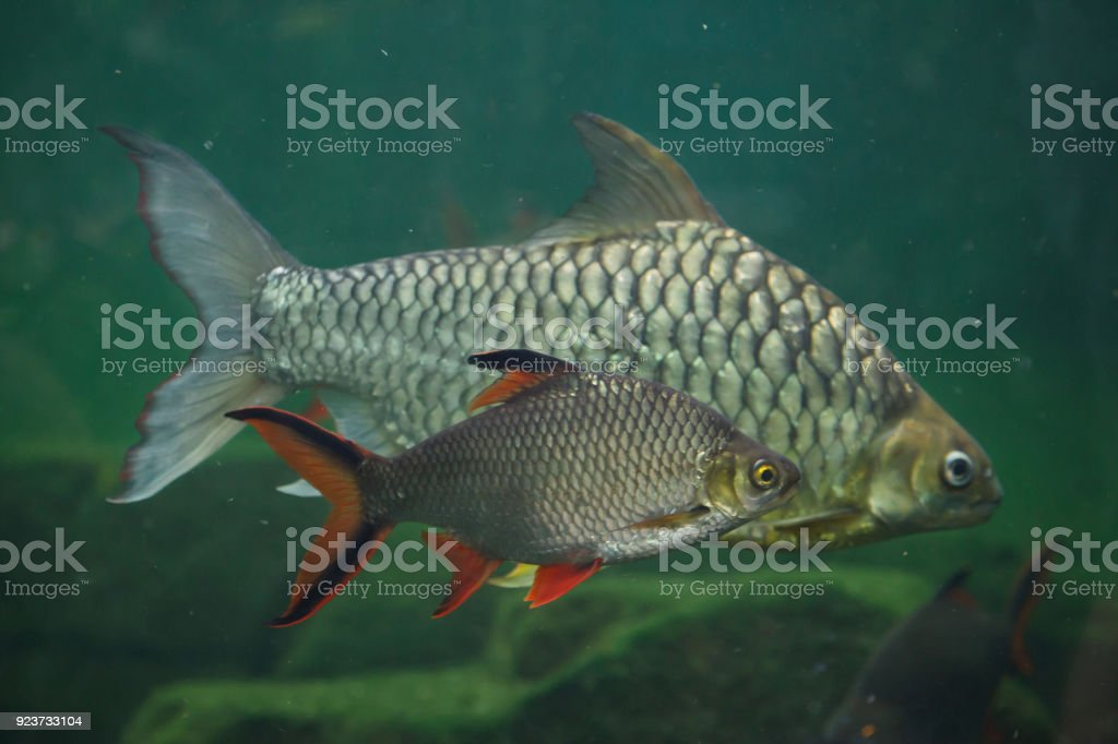 Tinfoil barb and the yellow eyed silver barb. stock photo