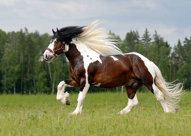 Tinker Running Tinker stallion paint horse stock pictures, royalty-free photos & images