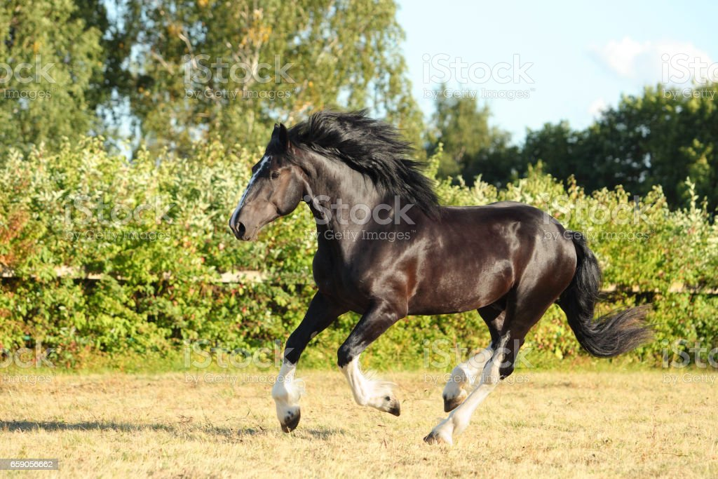 Tinker traveller pony galloping royalty-free stock photo