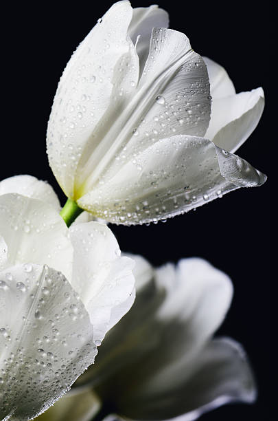 tinted image close-up bouquet of white tulips with water drops – Foto