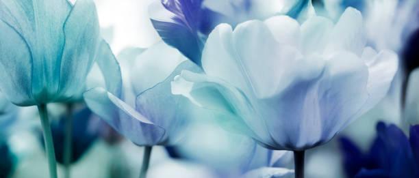 getönte Tulpen-Konzept – Foto