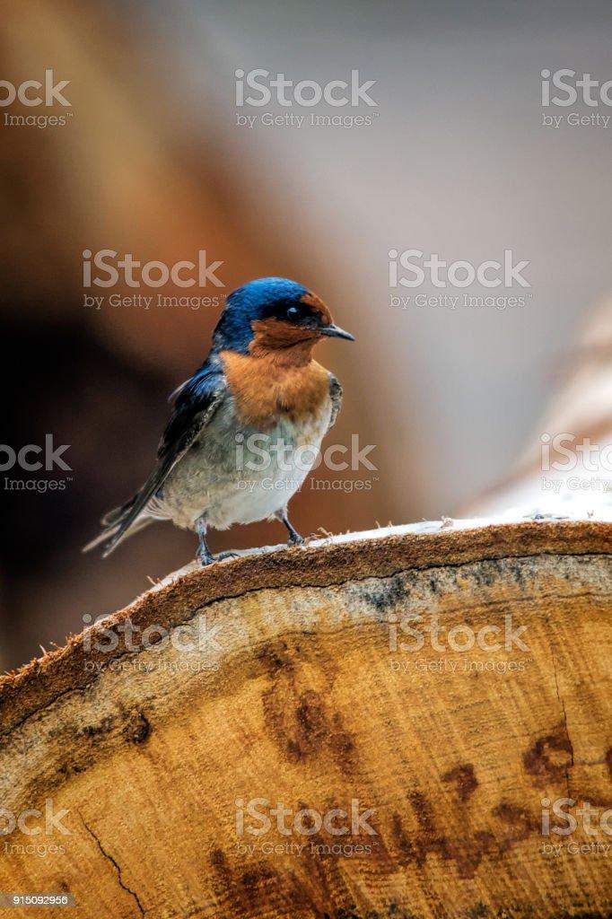 Tiny  Barn Swallow (Hirundo rustica) stock photo