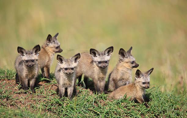 Tiny Bat Eared fox puppies stock photo