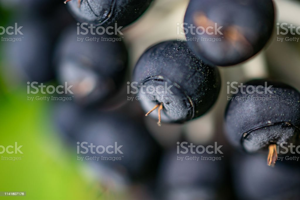 Tiny berries on plant stock photo