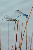 Tiny dragonfly (Zygoptera) perched on a reed by the water