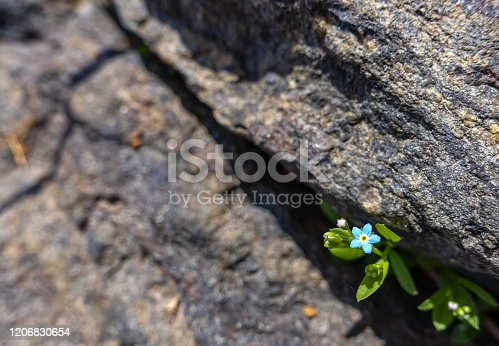 tiny blue flower growing out of a crack in a rock