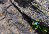 istock tiny blue flower growing out of a crack in a rock. 1206830654