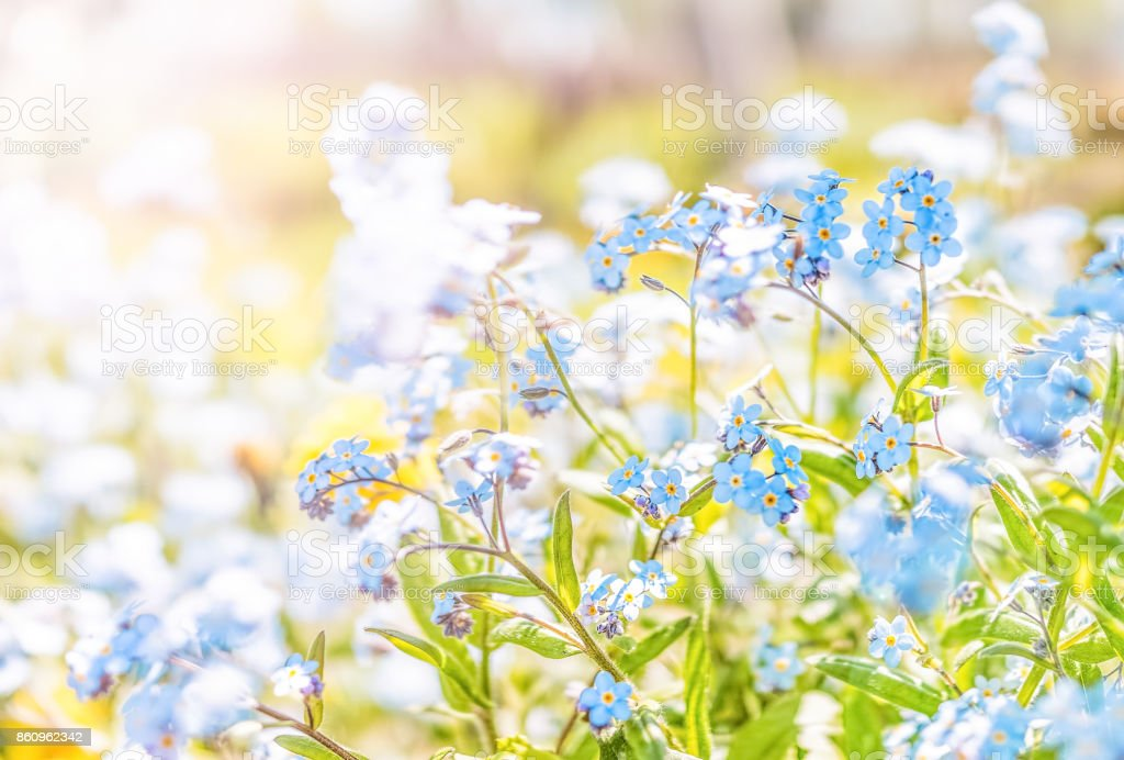 Tiny blue forget me not Myosotis flowers ground level macro closeup view in summer garden with soft sunset golden sunlight stock photo