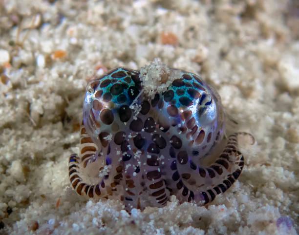 A tiny Bobtail Squid (Sepiolida sp.) on the sea floor A tiny Bobtail Squid (Sepiolida sp.) on the sea floor bobtail squid stock pictures, royalty-free photos & images