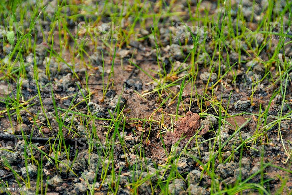 Rana marr n peque o recientemente germinar c sped en - Semillas de cesped para jardin ...