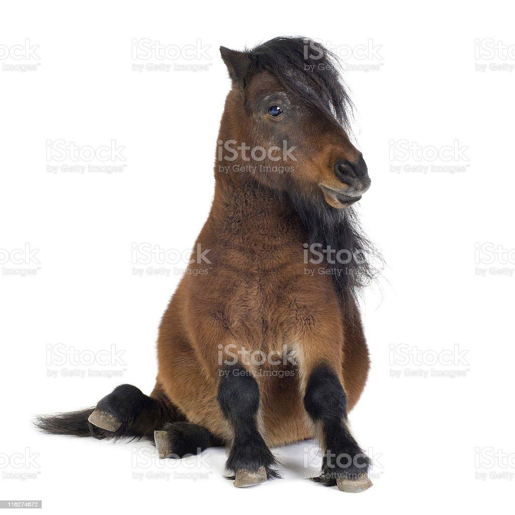 Tiny brown Shetland pony on a white backdrop stock photo