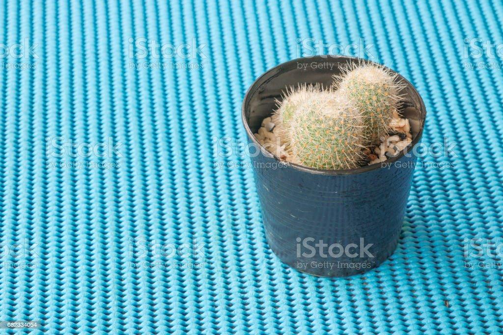 En liten kaktus på en blå bakgrund. royaltyfri bildbanksbilder