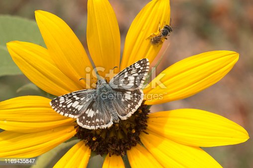 Enjoying nectar, a burrowing bee and a tiny checker spotted skipper butterfly pollinates a sunflower during summer in Denver, Colorado.