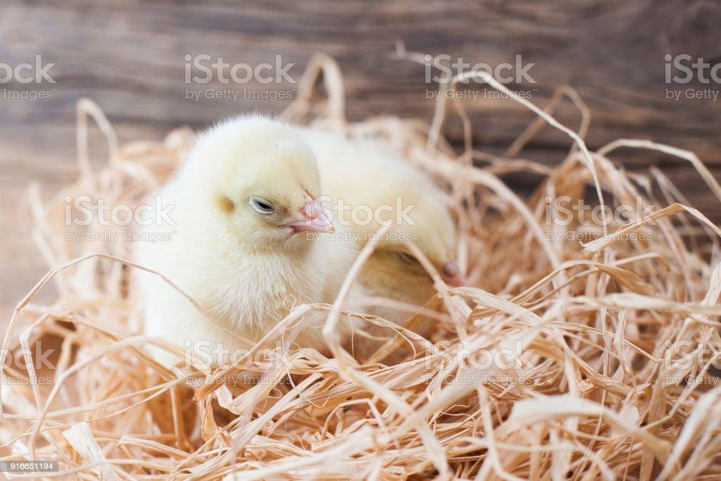 tiny chickens in the henhouse on the hay, happy breeding, happy chickens stock photo