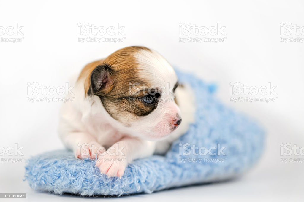 Tiny Chihuahua Puppy Lying Down In Blue Slipper Closeup On White Background Stock Photo Download Image Now Istock