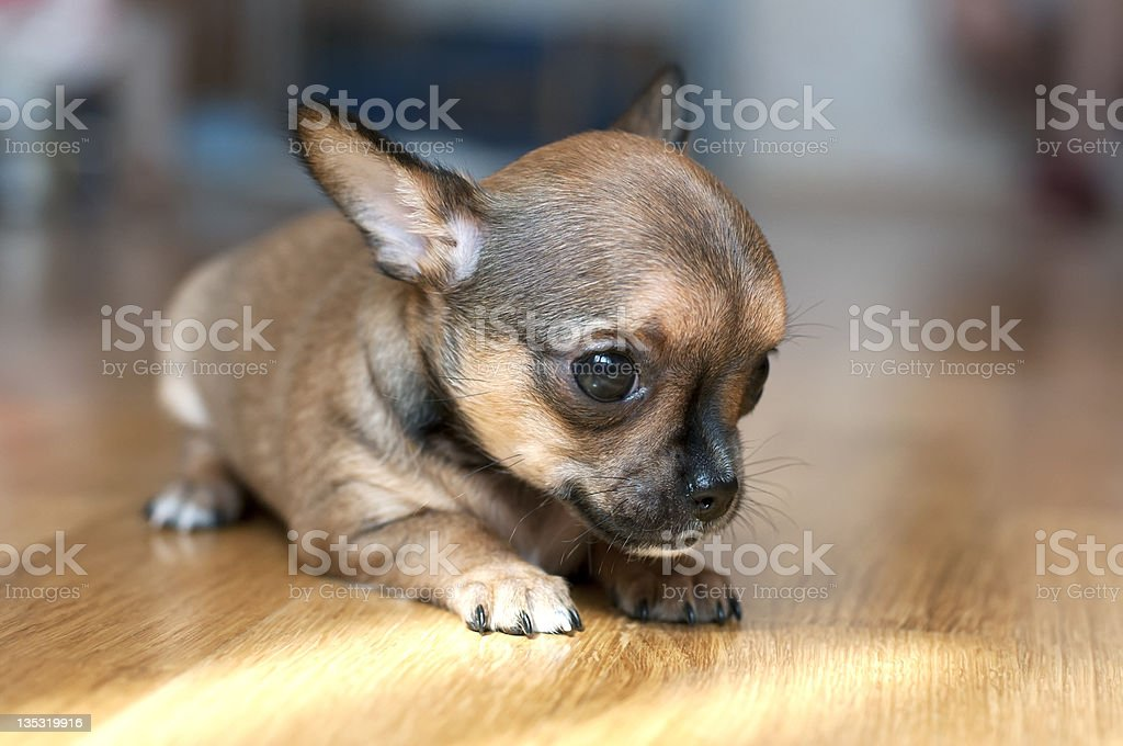 Tiny Chihuahua Puppy On Floor Stock Photo Download Image Now Istock