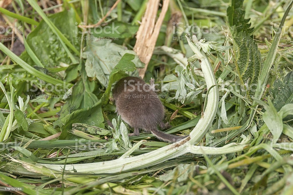 Tiny Common shrew hides oneself under leaf in grass stock photo