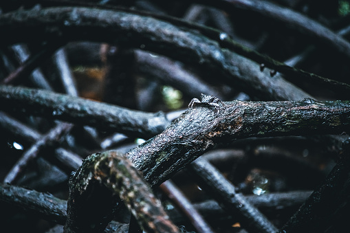 tiny crab on black roots of the  mangrove trees in the dark mangrove forest of Zanzibar
