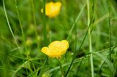 creeping buttercup, Ranunculus repens, creeping crowfoot, Flower, Nature