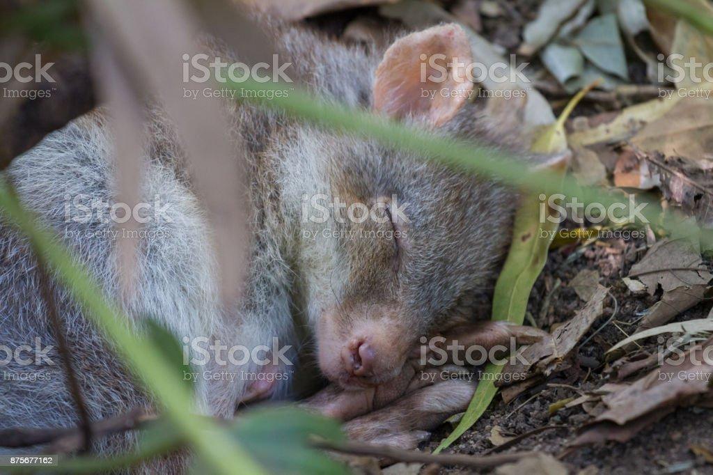 Tiny cute Potoroo sleeps on the forest floor stock photo