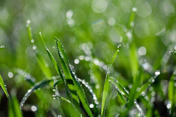 Tiny dew drops on fresh spring grass