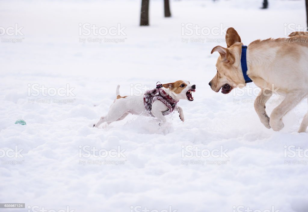 Tiny dog defends toy from big dog, jumping and attacking stock photo