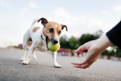 Small dog holding tennis ball in mouth as human is asking for it to play fetch.