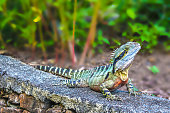 Tiny dragon - Colorful iguana on rock wall with blurred tropical background - selective focus