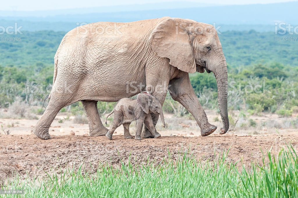 Tiny elephant calf walking next to its mother stock photo