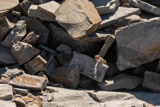 Tiny Ermine Peeks Out of Boulder Pile stock photo