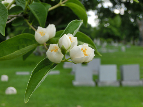 Tiny flower buds macro in cemetery with tombstones