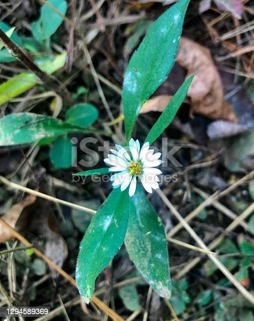 Overhead closeup of tiny white wildflower and other vegetation growing at ground level