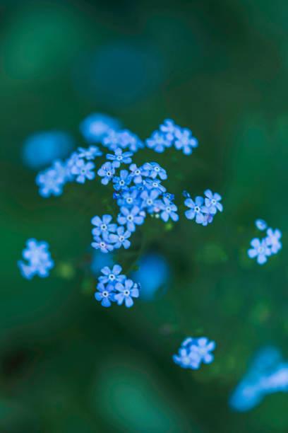 flores de pequenos miosótis em cenário natural - miosótis - fotografias e filmes do acervo